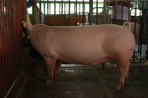 中央畜產會200507期L1035-03體型-全身相片