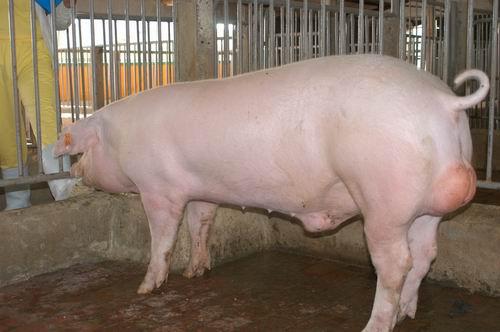 中央畜產會200507期L1686-06體型-全身相片