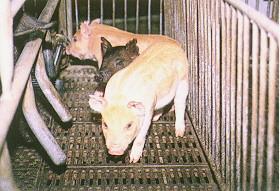 迷彩豬之選育 (9)(畜產種原庫及基因交流p20)