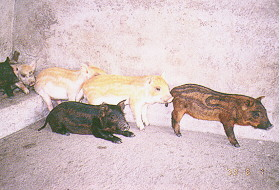 迷彩豬之選育 (12)(畜產種原庫及基因交流p20)