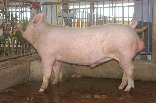 中央畜產會200507期Y0600-01體型-全身相片