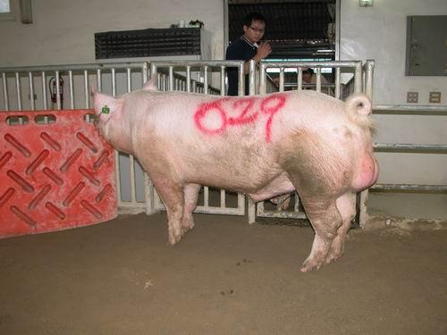 台灣動物科技研究所竹南檢定站9406期Y0233-04種公豬拍賣相片(高價豬)