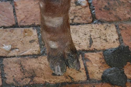 中央畜產會200510期D1221-07體型-四肢相片