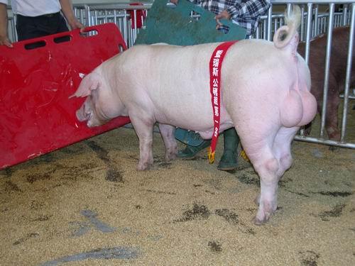 台灣種豬發展協會9501期L0039-07拍賣相片(高價豬)