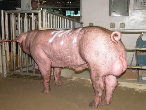 台灣動物科技研究所竹南檢定站94-07期D1100-01種公豬拍賣相片(高價豬)