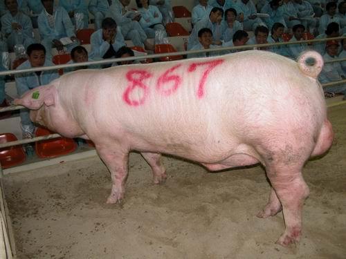 台灣動物科技研究所竹南檢定站94-08期L0336-02種公豬拍賣相片(高價豬)