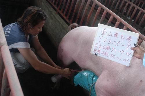 台灣種豬發展協會9404期Y1305-09採精相片