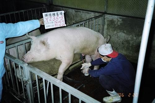 台灣種豬發展協會9502期Y0235-08採精照片
