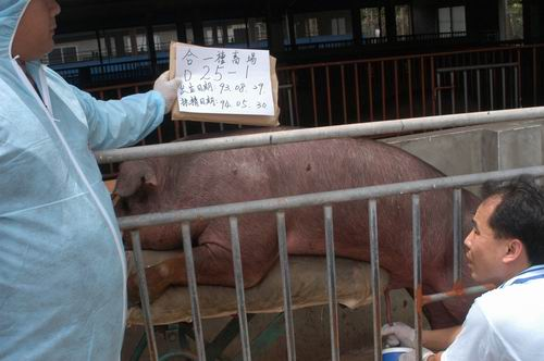 台灣種豬發展協會9404期D0025-01採精相片