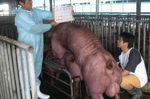 台灣種豬發展協會9404期D0287-03採精相片