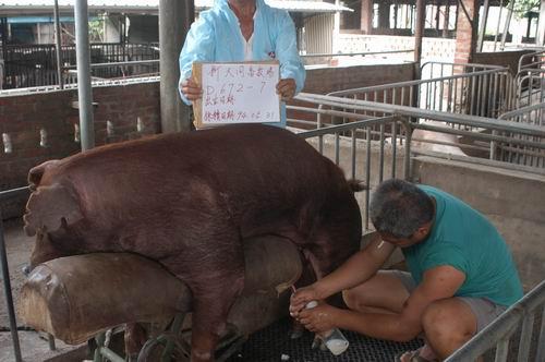 台灣種豬發展協會9404期D0672-07採精相片