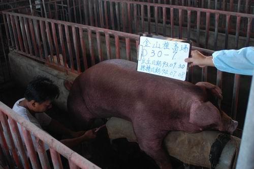 台灣種豬發展協會9405期D0030-07採精相片