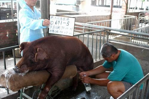 台灣種豬發展協會9405期D0691-05採精相片
