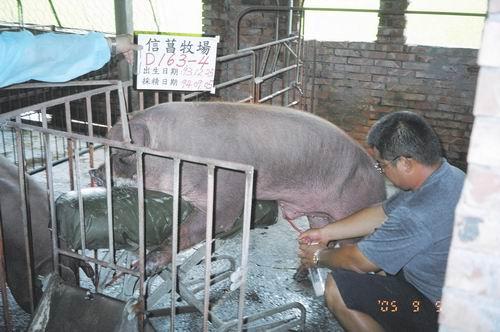 台灣種豬發展協會9406期D0163-04採精相片