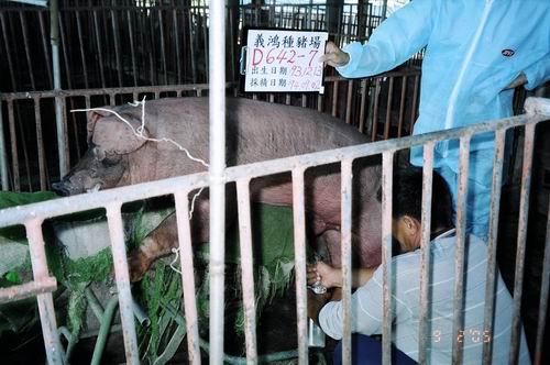台灣種豬發展協會9406期D0642-07採精相片