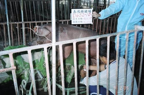 台灣種豬發展協會9406期D0652-10採精相片