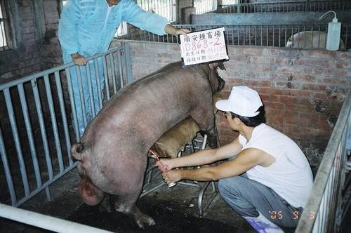 台灣種豬發展協會9406期D0868-02採精相片