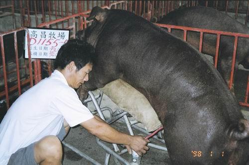 台灣種豬發展協會9406期D1155-05採精相片