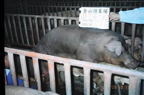 台灣種豬發展協會9407期D0074-07採精相片