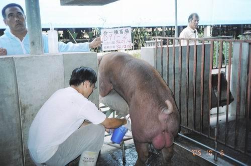 台灣種豬發展協會9407期D0091-02採精相片