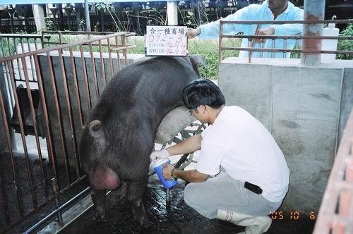台灣種豬發展協會9407期D0092-03採精相片