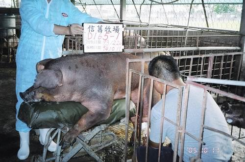 台灣種豬發展協會9407期D0165-01採精相片
