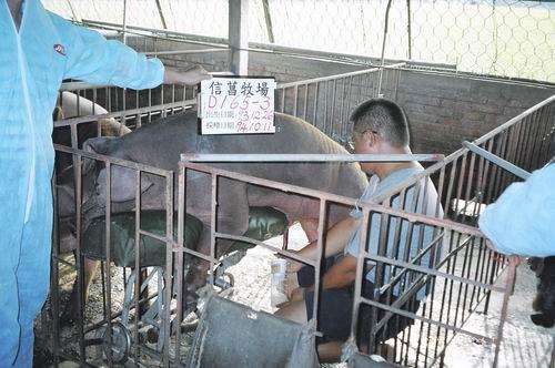台灣種豬發展協會9407期D0165-03採精相片
