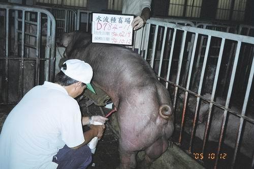 台灣種豬發展協會9407期D0784-11採精相片