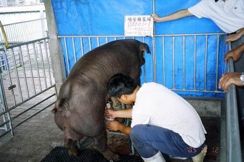 台灣種豬發展協會9407期D1001-01採精相片