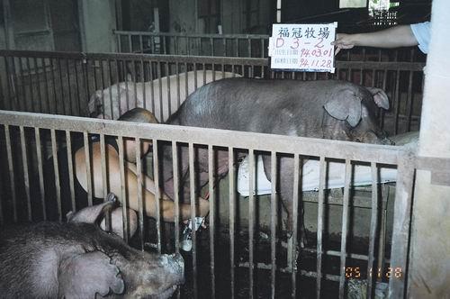 台灣種豬發展協會9408期D0003-02採精相片