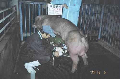 台灣種豬發展協會9408期D0623-06採精相片
