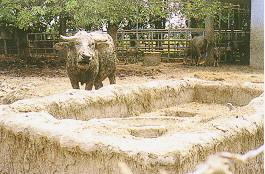 水牛保種環境 -水牛出泥浴 (4) (畜產種原庫及基因交流p38)