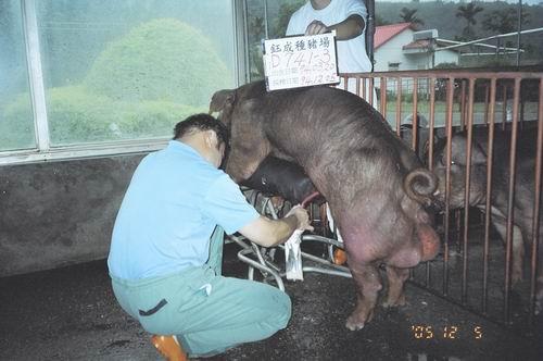 台灣種豬發展協會9408期D0741-03採精相片