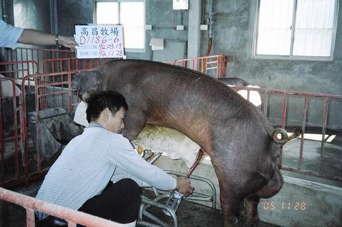 台灣種豬發展協會9408期D1186-06採精相片