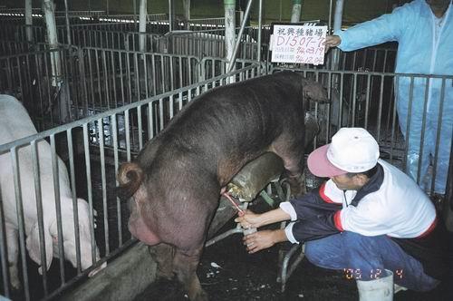 台灣種豬發展協會9408期D1507-07採精相片