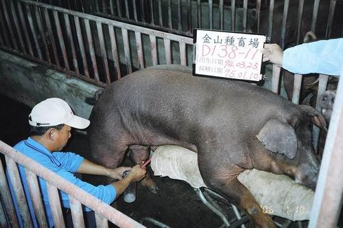 台灣種豬發展協會9501期D0138-11採精相片