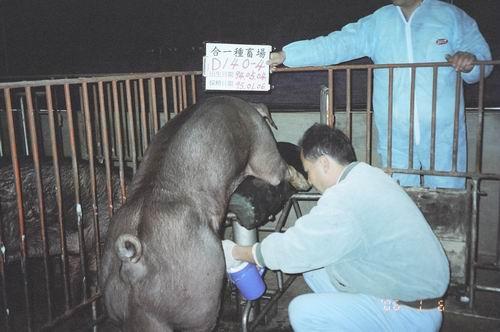 台灣種豬發展協會9501期D0140-04採精相片