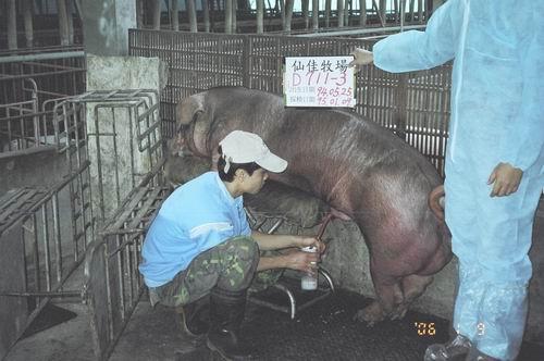 台灣種豬發展協會9501期D0711-03採精相片