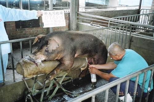 台灣種豬發展協會9501期D0785-05採精相片