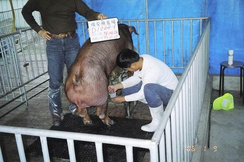台灣種豬發展協會9501期D1064-01採精相片