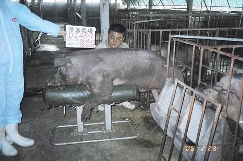 台灣種豬發展協會9502期D0245-01採精照片