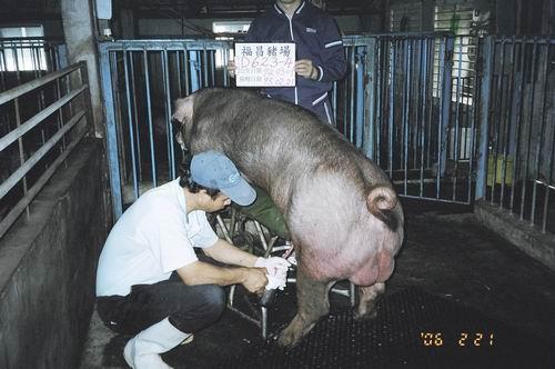 台灣種豬發展協會9502期D0623-04採精照片