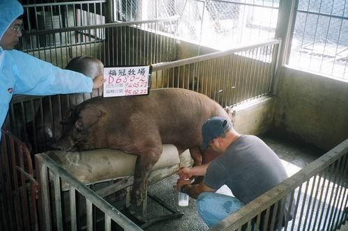 台灣種豬發展協會9502期D0680-02採精照片