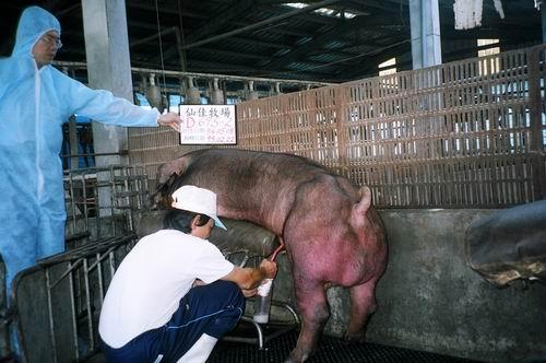 台灣種豬發展協會9502期D0695-02採精照片