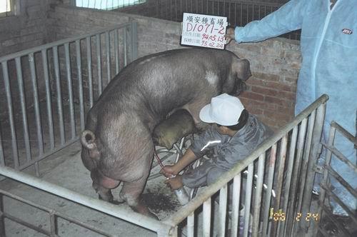 台灣種豬發展協會9502期D1071-02採精照片