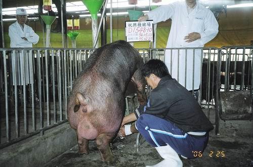 台灣種豬發展協會9502期D1548-10採精照片