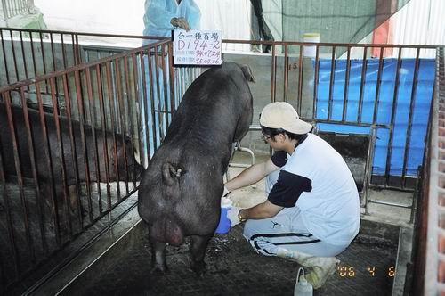 台灣種豬發展協會9503期D0194-02採精相片