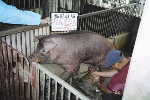 台灣種豬發展協會9503期D0689-02採精相片
