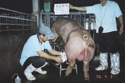 台灣種豬發展協會9503期D0782-01採精相片