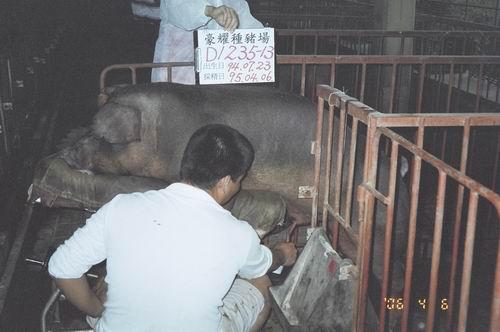 台灣種豬發展協會9503期D1235-13採精相片